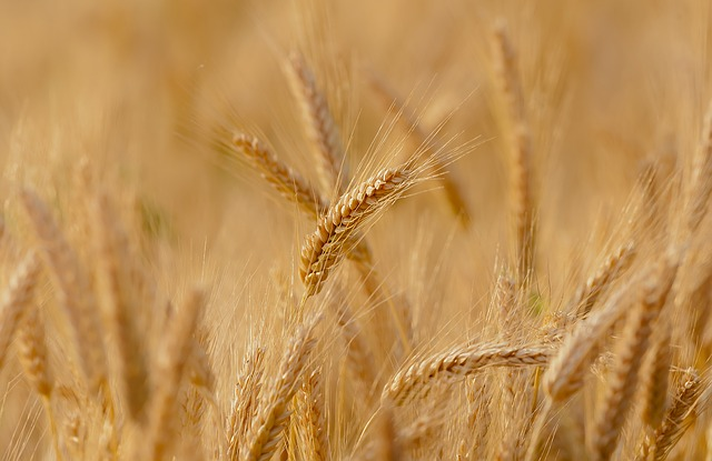cereales, gluten y celiaquía